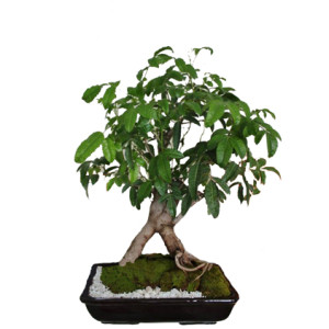 COD. BS 0_Bonsai-molle-costeno