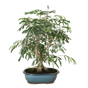COD. BS0011_bonsai acacia