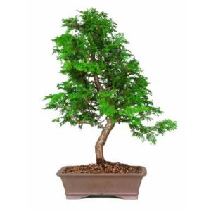 _Hinoki-cypress-bonsai